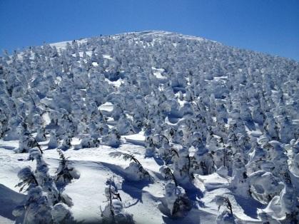 Snow glazed trees
