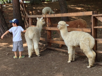 White Alpacas