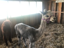 Alpaca at a county fair